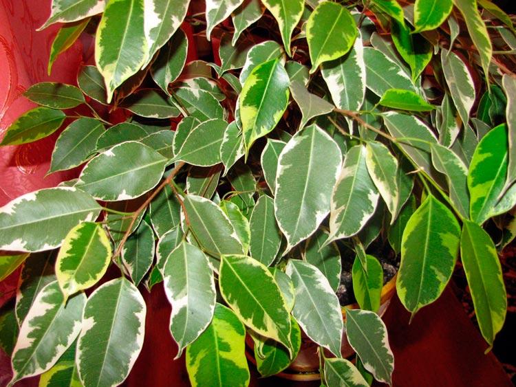A gumi ficus tenyésztési módszerei - Gyógynövények