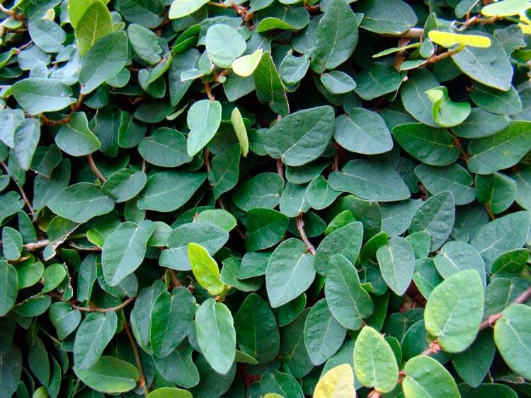 ficus levelek közös kezelésre